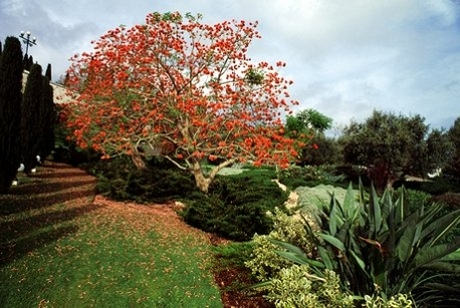 Flame tree on the Terraces of the Shrine of the Báb